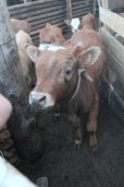 Mongolian dairy cows